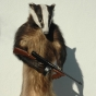taxidermy-stuffed-badger-e